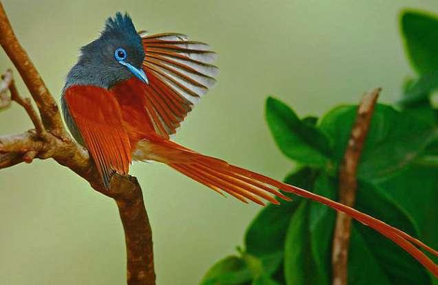 Райская мухоловка Terpsiphone Paradisi