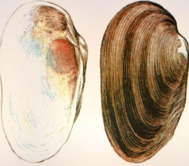 Раздольненская миддендорффиная Middendorffinaia Sujfunensis
