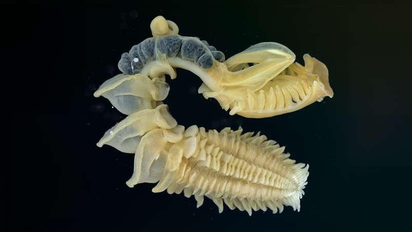Разноногий хетоптерус Chaetopterus Variopedatus