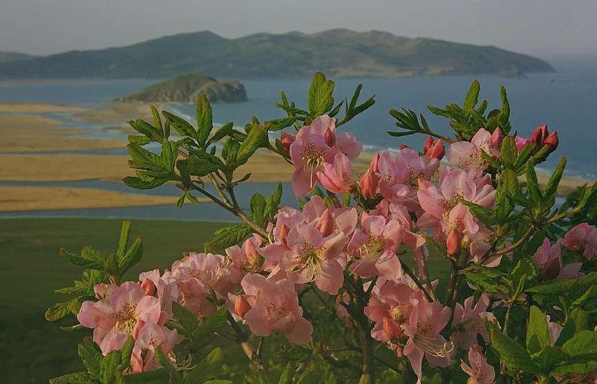Рододендрон Шлиппенбаха Rhododendron Schlippenbachii