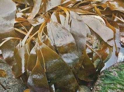 Саккориза кожистая Saccorhiza Dermatodea