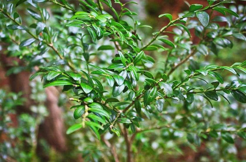 Самшит колхидский Buxus Colchica