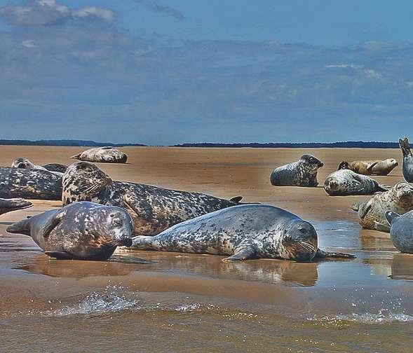 Серый тюлень (атлантический п/вид тевяк) Halichoerus Grypus Grypus