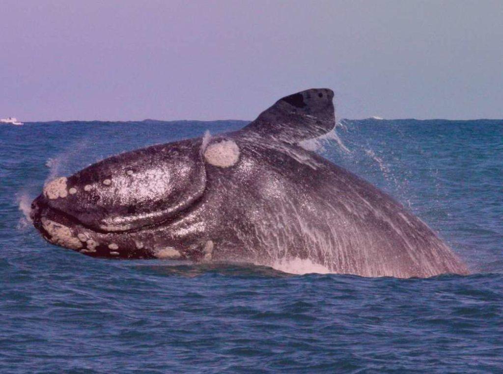 Японский кит Eubalaena Glacialis Japonica
