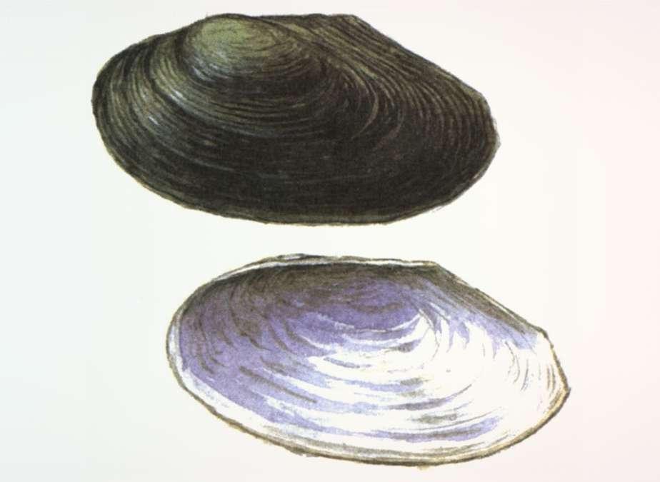 Зарейская арсеньевиная Arsenievinaia Zarjaensis